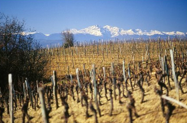 Limoux_vines_in_winter
