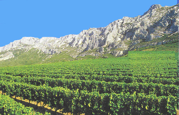 Vines_in_sainte_victoire_1