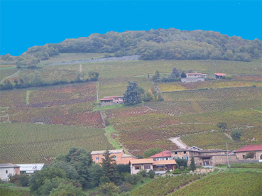 Vines_mount_brouilly