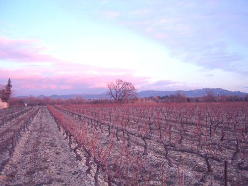 Vines at sunset with a typical red provençal sky in December 06