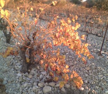 Fall_vine_2